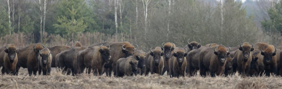 Sulle tracce degli ultimi bisonti d'Europa