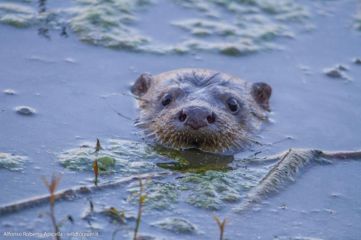 Diari - L'invisibile lontra, il mammifero terrestre più raro d'Italia