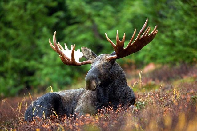 moose-70254_640 kampinos