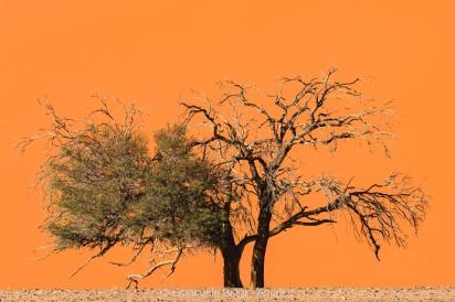 Acacia sp., Sossusvlei, Namibia