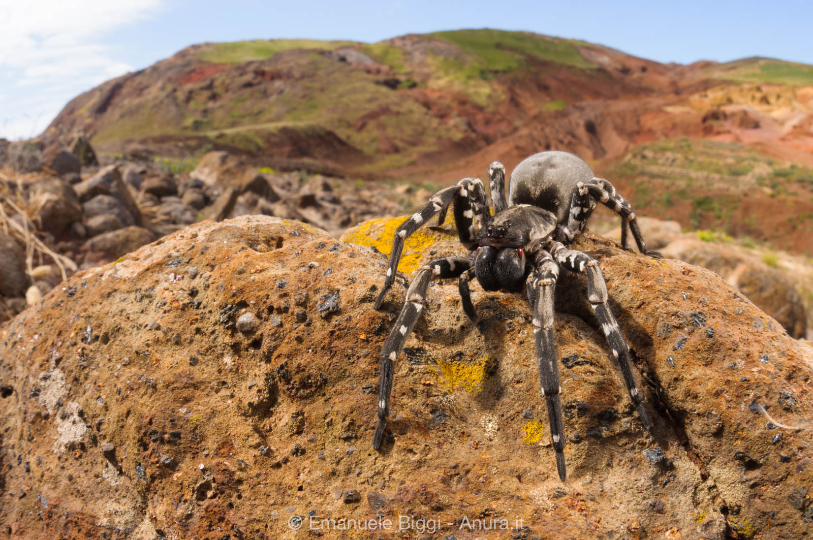 The Panda of Spiders