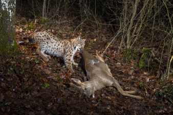 Wild-European-Lynx_Laurent-Geslin_10
