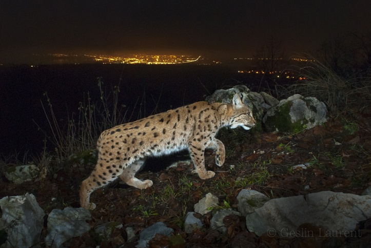 Wild-European-Lynx_Laurent-Geslin_12