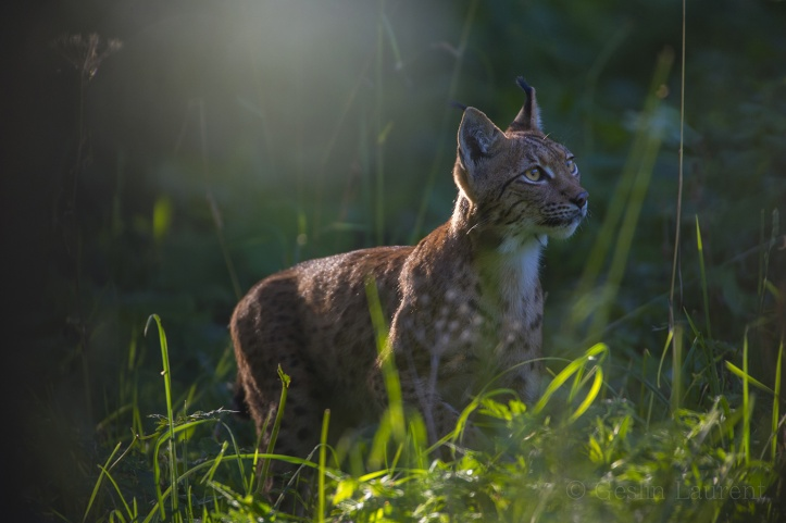 Wild-European-Lynx_Laurent-Geslin_13