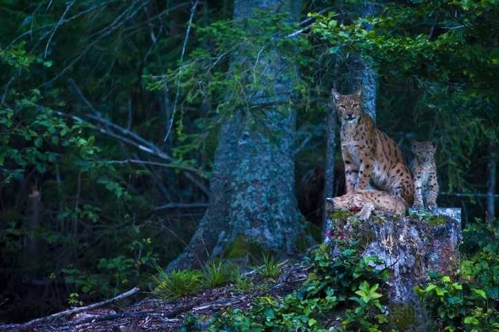 Wild-European-Lynx_Laurent-Geslin_15