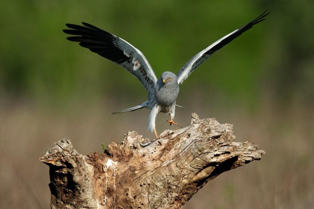 Immagine che contiene uccello, animale, esterni, erba  Descrizione generata automaticamente