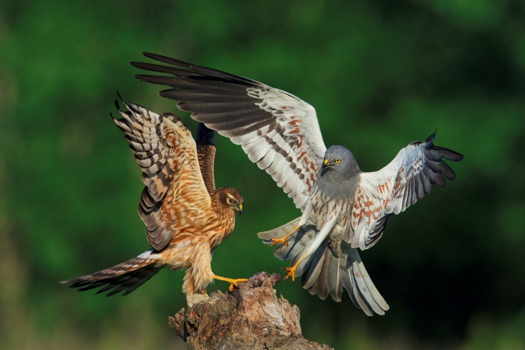 Immagine che contiene uccello, animale, esterni, rapace  Descrizione generata automaticamente